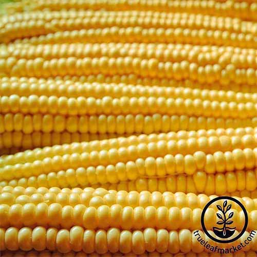 Square extreme closeup image of ears of 'Robust Yellow Hulles Hybrid' corn.