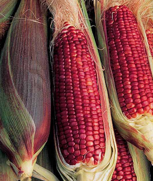 Ruby Queen Sweet Corn showing its red kernels.