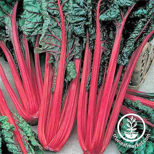 Overhead square image of several bunches of 'Ruby Red' Swiss chard that have just been picked from the garden, with red stems and dark green leaves.