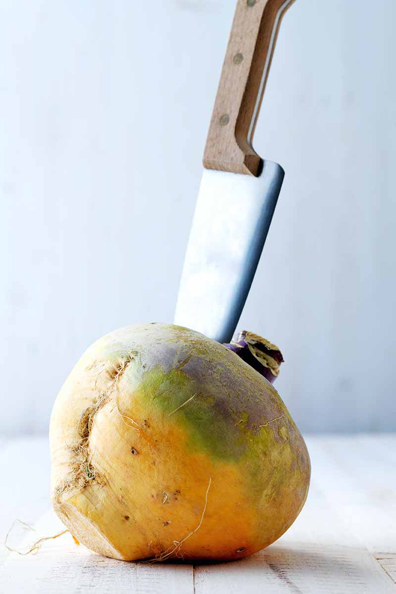Vertical image of a wooden-handled knife sticking out of a yellow, green, and purple rutabaga that has been cleaned, with leaves and roots removed, on a white wood surface with a gray background.