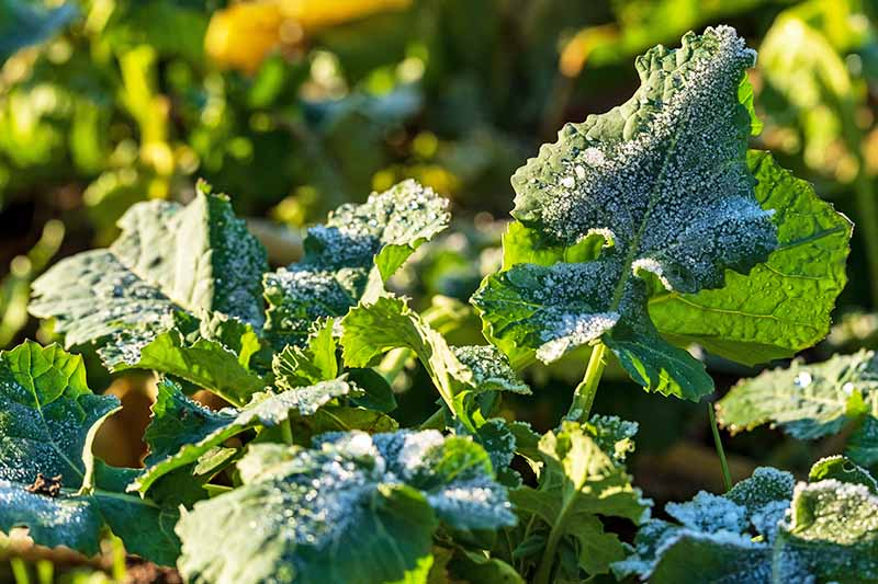 Horizontal image of rutabaga leaves with frost on the surface, in dappled sunshine.