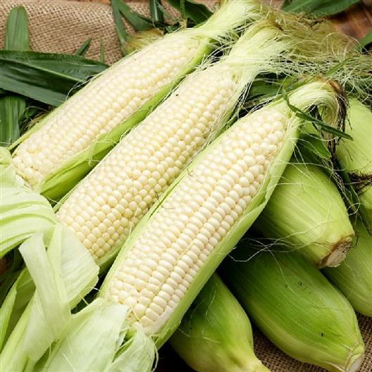 Fresh and raw Stowells Evergreen heirloom corn on the cob with husks still on some.