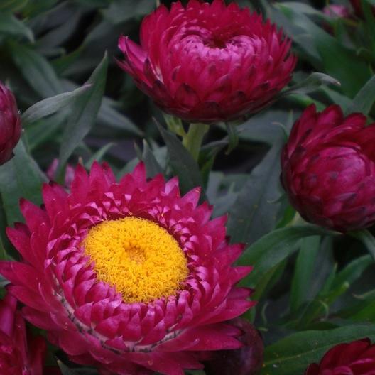 'Magenta Red Strawflowers, close up.