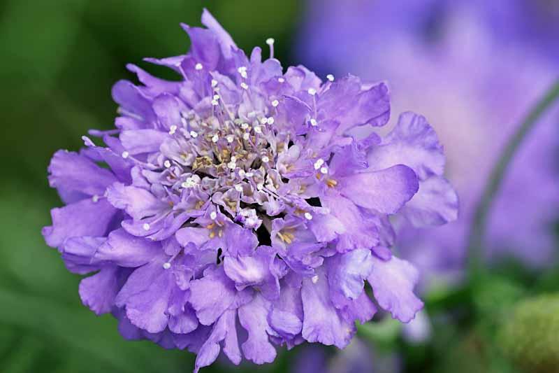 Butterfly Blue Pincushion Flower in bloom.