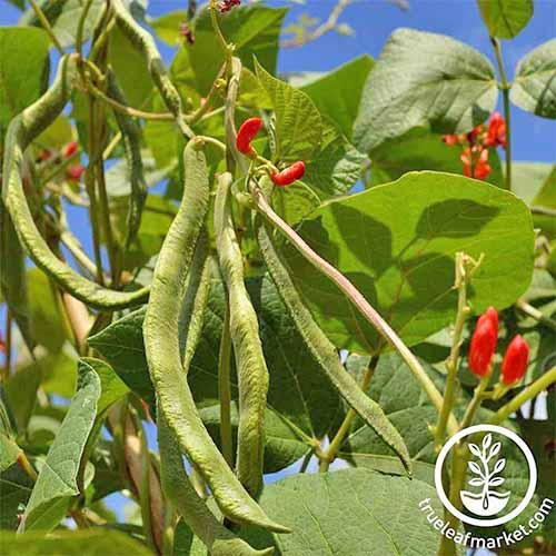 Closely cropped square image of scarlet runner beans, with green bean pods and leaves, and pink flowers, with a bright blue sky in the background.