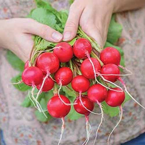 Square image of two hands holding a bunch of 'Solaris Hybrid' radishes, with bright red roots and green leaves, and a beige apron with a faint pattern printed on the fabric in the background.