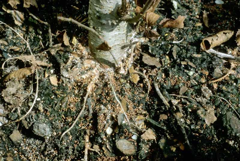 The lower base of an apple tree seedling with mycelia at the base.