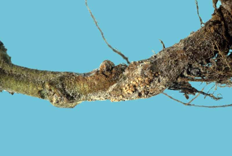 Southern blight on apple trunk and roots. Medium blue background.