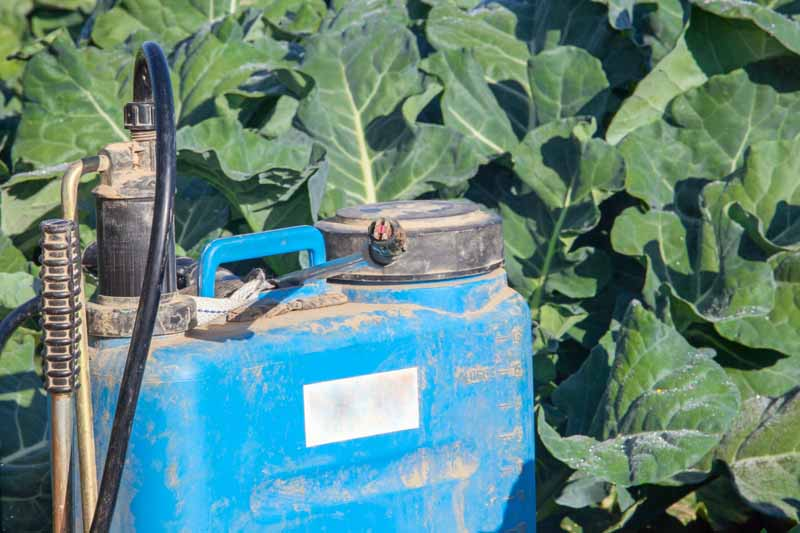 Blue pump sprayer being used to spray fungides on turnips in a garden.