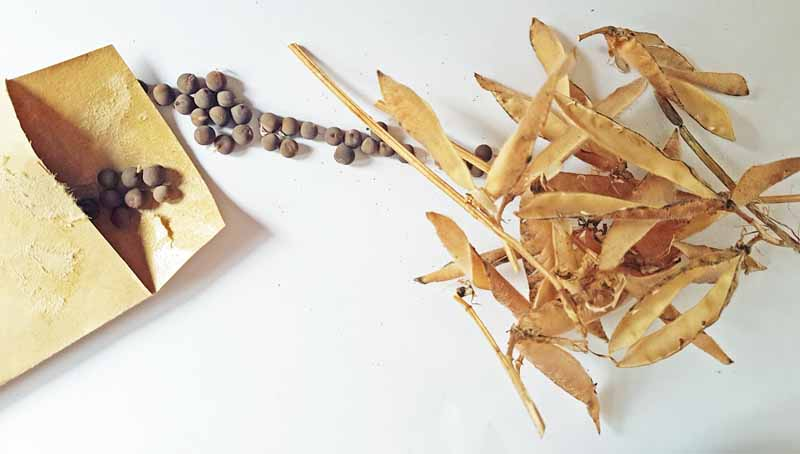 Sweet pea seeds being inserted into an envelop and dried empty pods.