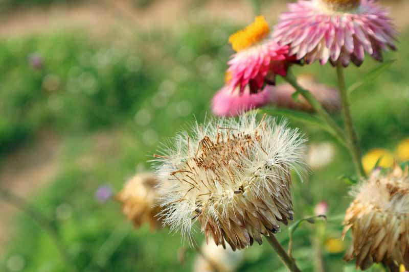Close up of the seedhead of a strawfllower that needs deadheaded.