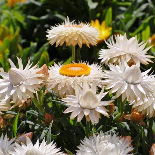 Strawflower - Swiss Giants, close up of the blooms.