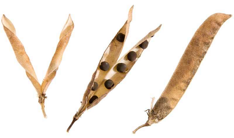 Sweat Pea Seed pods in various stages of maturity on a white, isolated background.