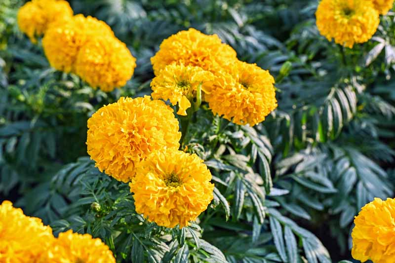 Yellow Tagetes erecta, Mexican, Aztec or African marigolds in bloom.