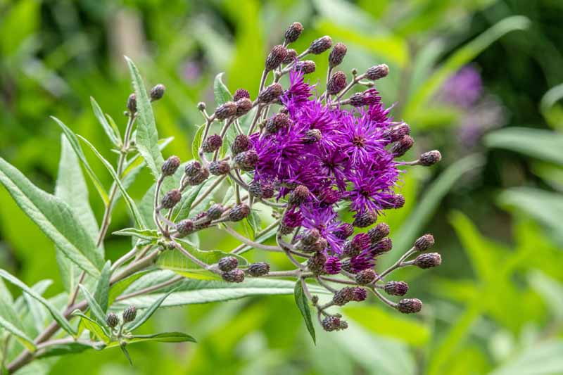 Close up of a cluster of tall ironweed (Vernonia altissima) with purple flowers in bloom.