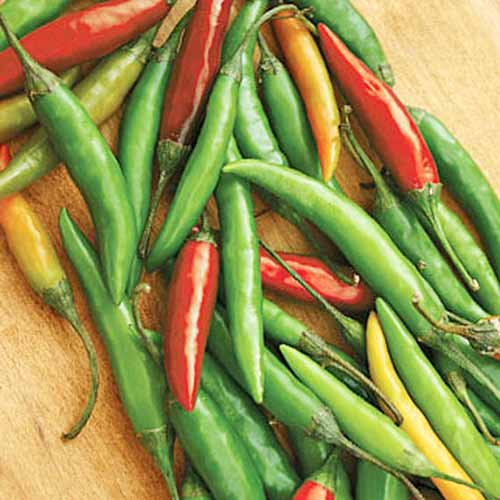 Overhead square image of long, thin, red, green, and pale orange Thai hot peppers, on a wood surface.