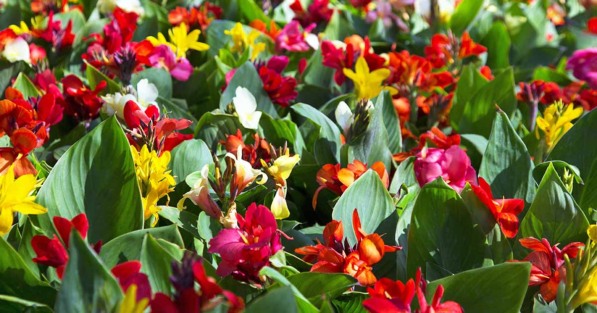 15 Best Late Summer Flowering Bulbs Gardener S Path