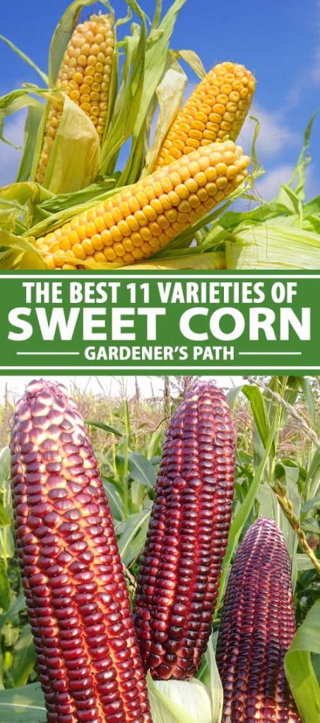 A collage of photos showing different types and colors of sweet corn