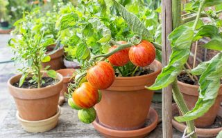 Tomatoes and other vegetables planted in terra cotta pots, on a wooden deck.