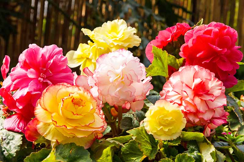 Horizontal image of pink, rose, yellow, and orange tuberous begonia flowers, with light greenish-yellow leaves and a tree trunk in the background.