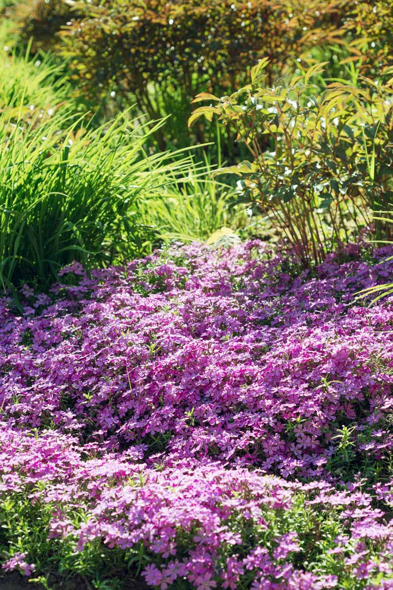 Vertical image of pink creeping phlox covering the ground, with taller green foliage in the background, with filtered golden sunlight.