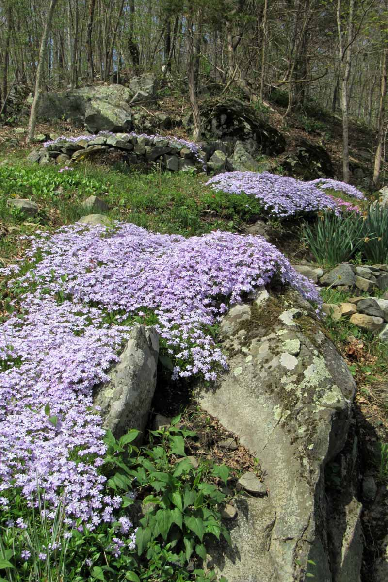 Lavender creeping phlox provides a blooming ground cover, cascading over rocks in a garden with green foliage growing low to the ground.
