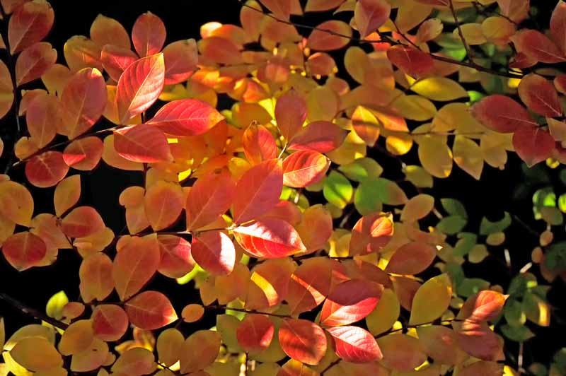 Orange and yellow leaves of Victor Crepe Myrtle (Lagerstroemia indica 'Victor') in the fall.
