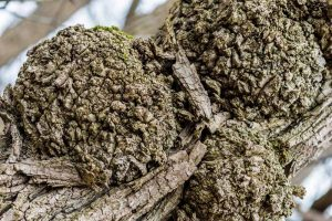 What's the Difference Between Tree Burr Knots (Burl) and Crown Galls?