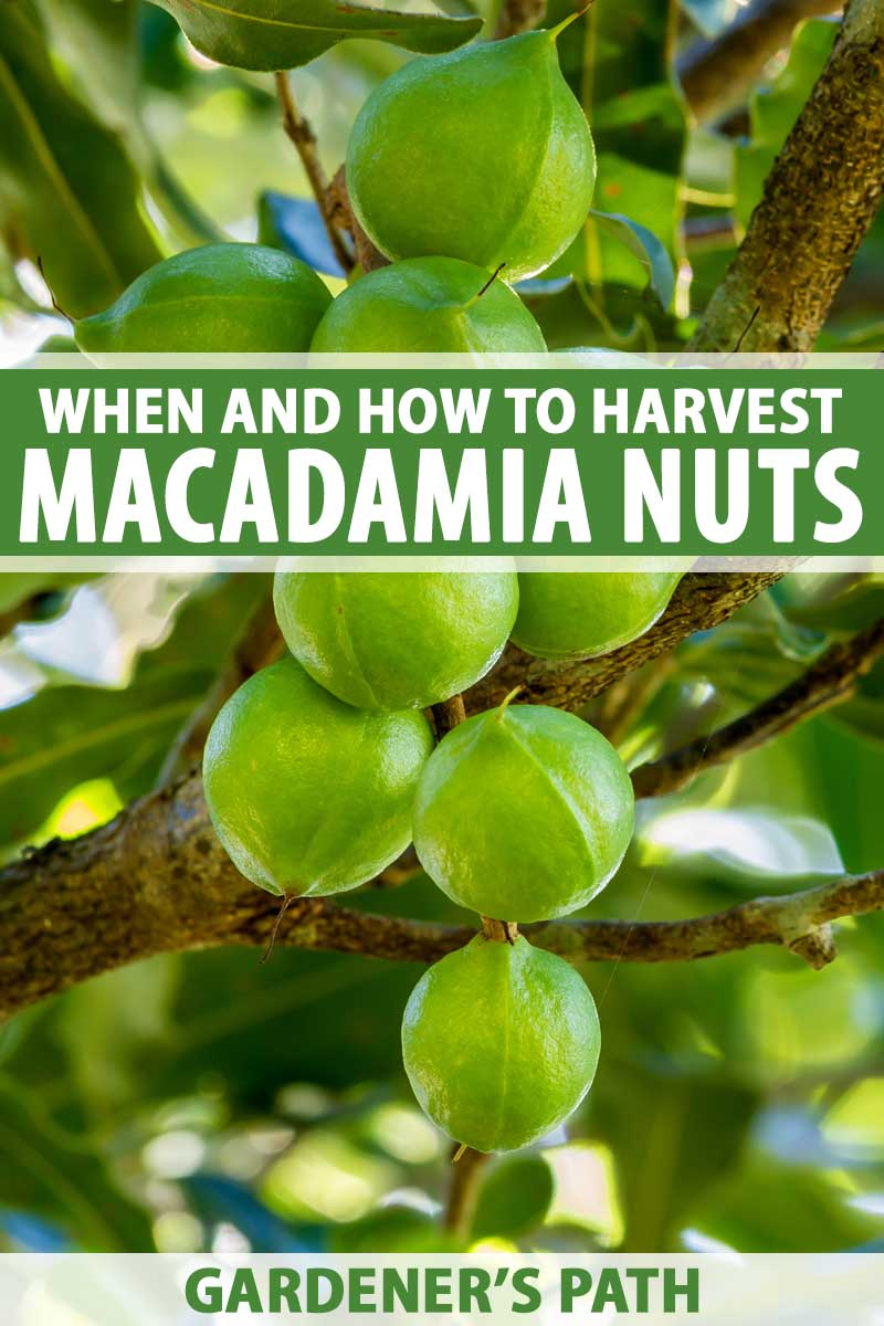Green macadamia nuts on a tree branch.