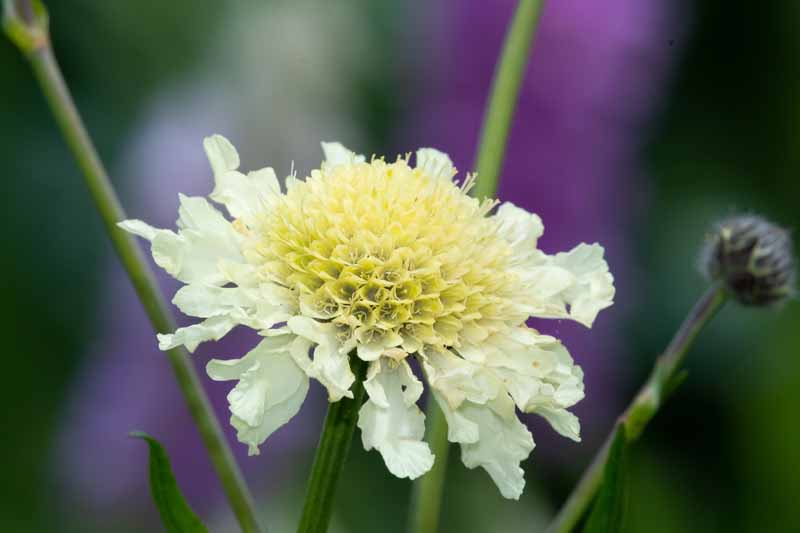 Close up of a yellow pincushion flower in bloom.