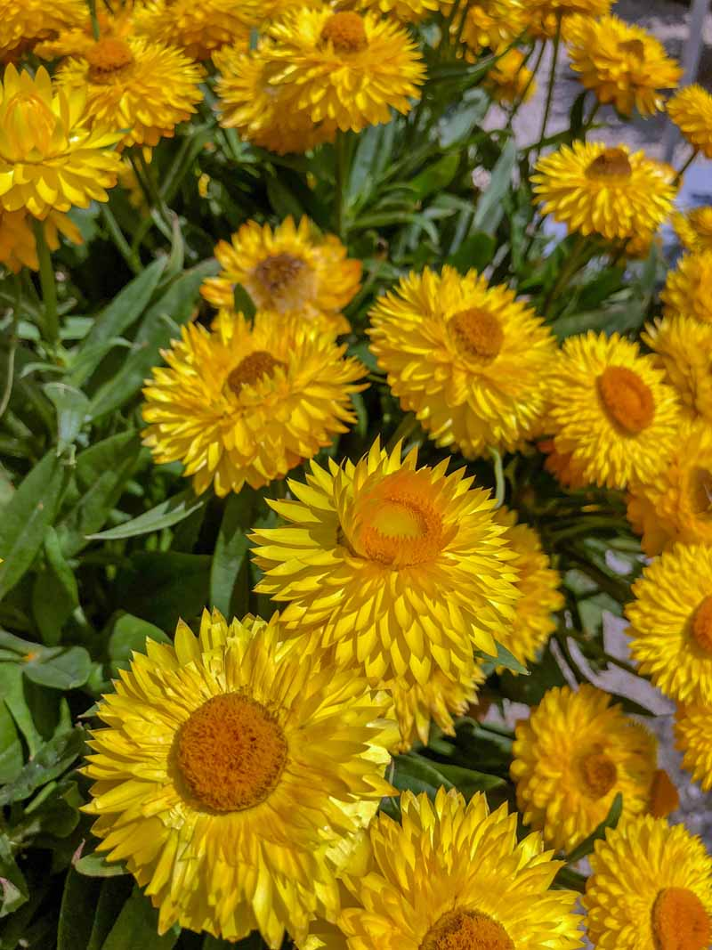 A yellow variety of everlasting strawflowers in a mass planting.