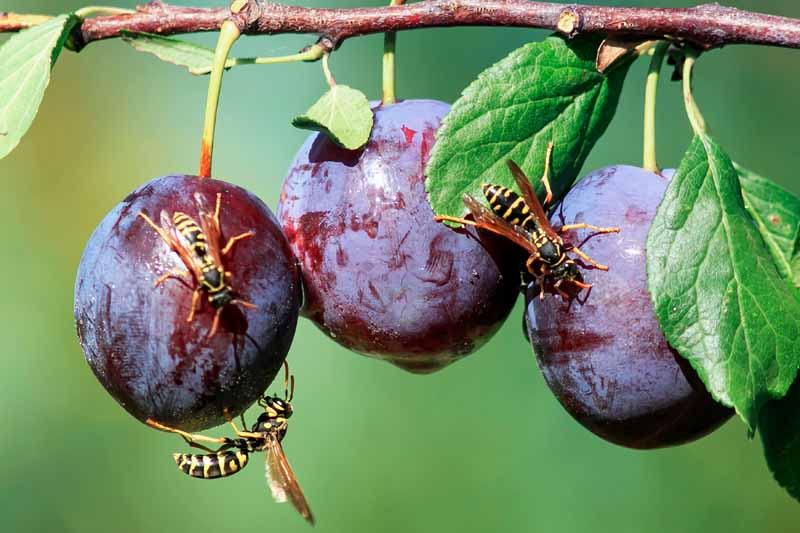 Three ripe plums hanging from a tree branch covered in yellowjackets.