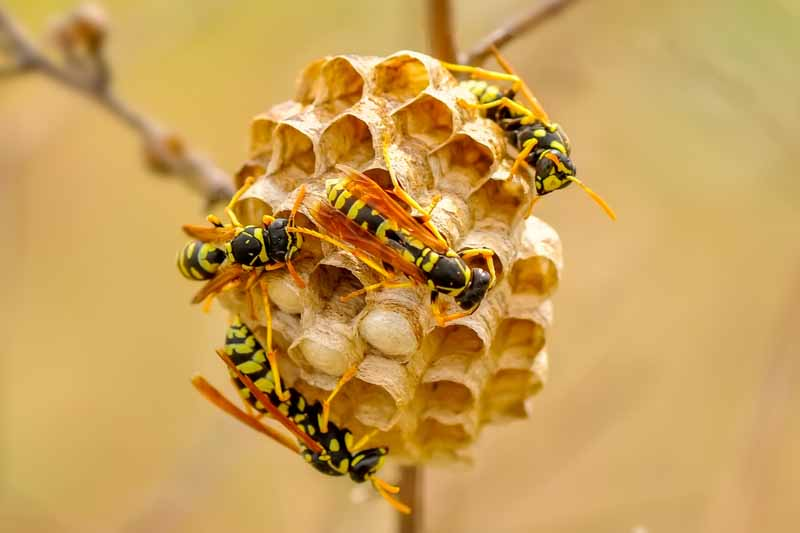 Four median wasps (Dolichovespula media) on a small nest on a tree branch. Diffused background.