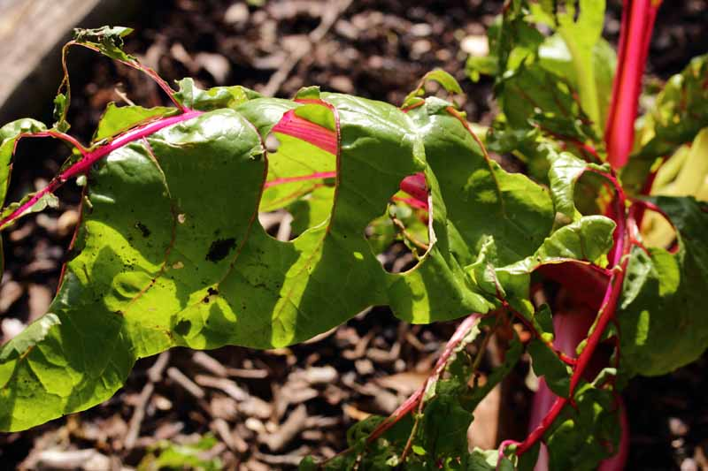 Holes from insect activity in Swiss chard leaves in the garden.