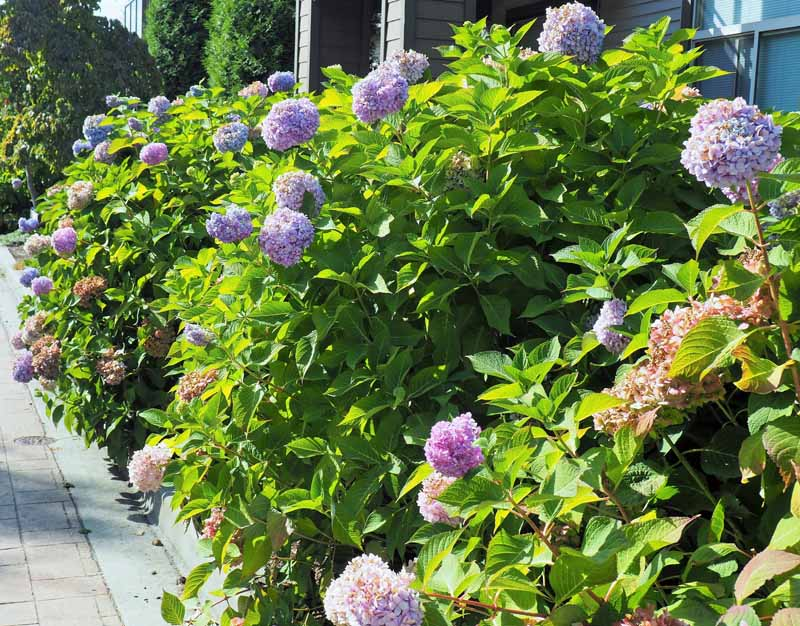 A hedge made with bigleaf hyrdrangea bushes with purple flowers.