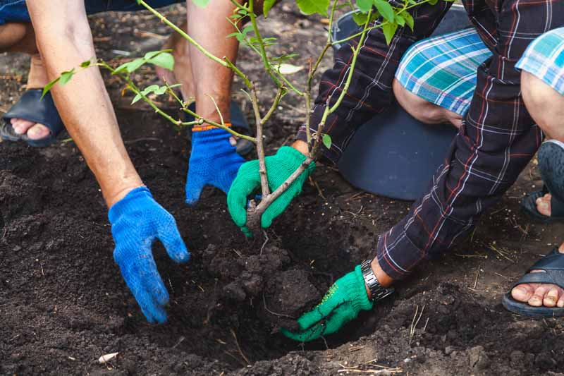 Two pairs of human arms and hands move a small rose bush into a hole for a fall transplant.