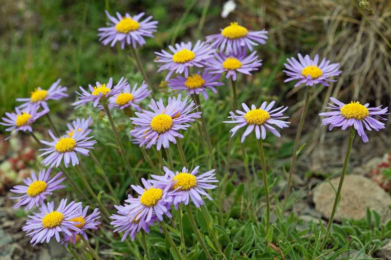 Alpine aster 'Beechwood' in bloom in a garden setting.