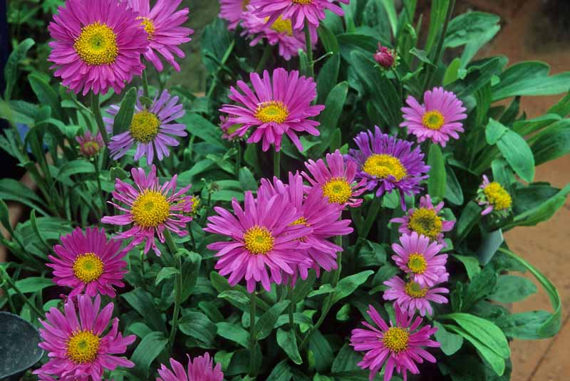 Pink flowers of alpine aster 'Wargrave.'