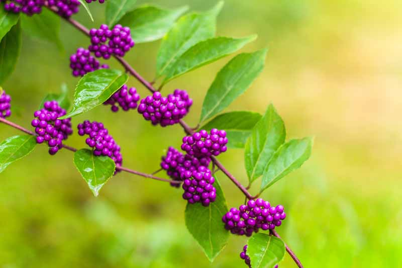 A close up of the berries of the American beautyberry bush in the early morning light.