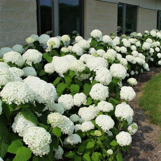 A close up square image of 'Annabelle' hydrangea growing along the front of a residence.
