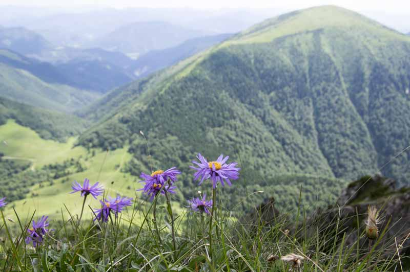 A view overlooking green European mountains with Alpine aster in bloom in the foreground.