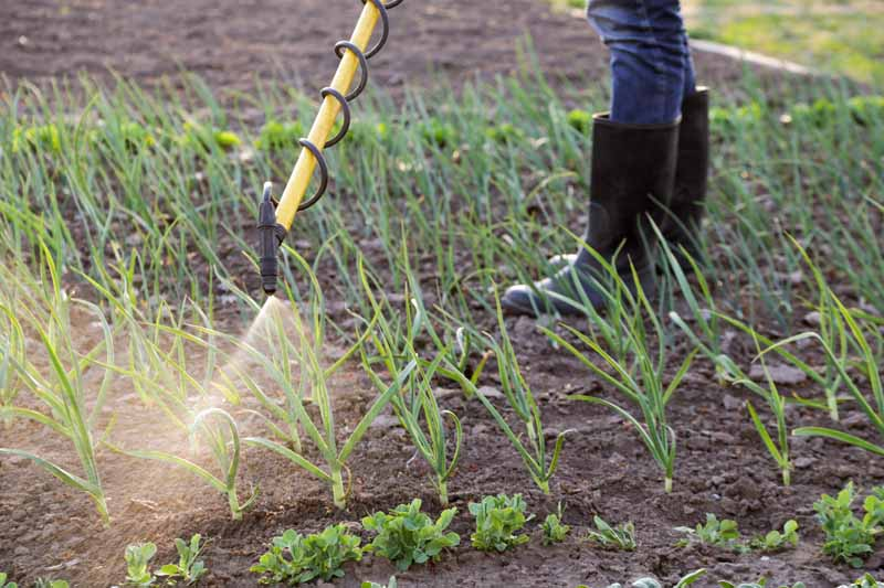 A farmer spays the earth with a solution containing Bacillus amyloliquefaciens.