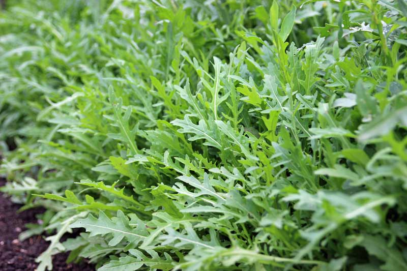 A row of arugula or rocket (Eruca vesicaria) growing in a garden. Close up photo.
