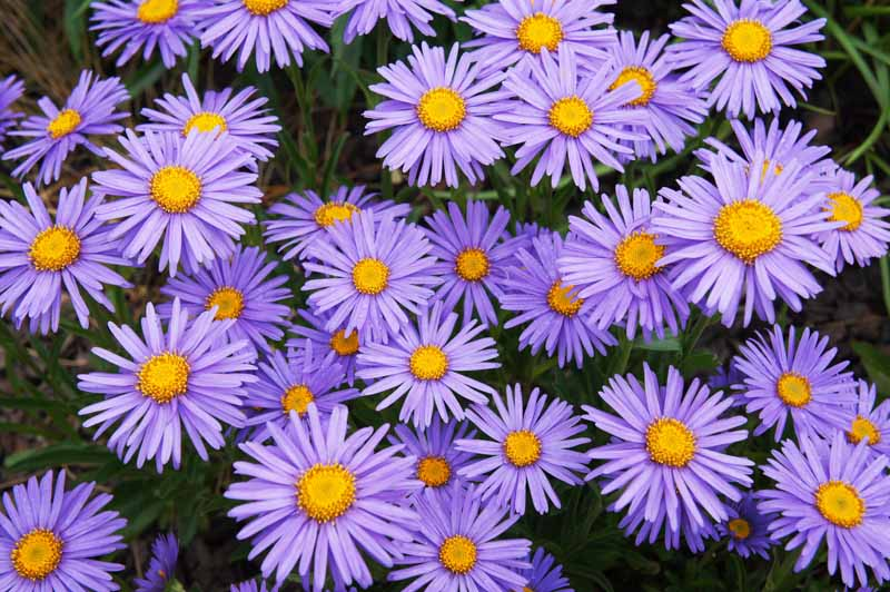 A mass planting of Aster alpinus 'Goliath' in bloom. Flowers have lavender petals and yellow centers.