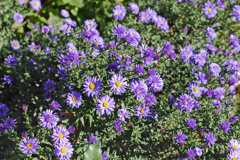 Aster alpinus 'Dark Beauty' in bloom with purple petals.