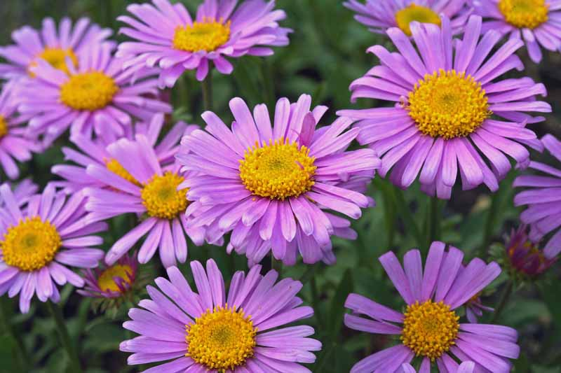 Aster alpinus 'Happy End' in bloom with distinct purple-pink double flower heads.