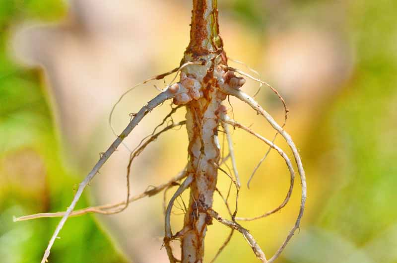 Plant growth-promoting rhizobacteria growing in nodules on a pea root.