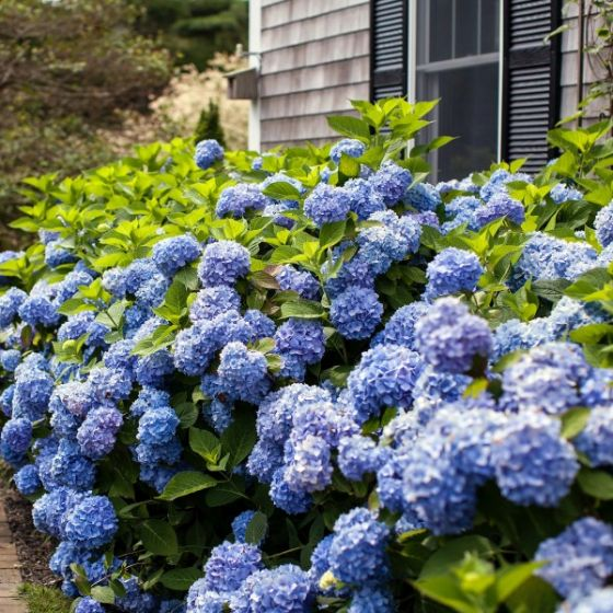 H. macrophylla 'Bailmer' (Original Endless Summer) with blue flowers as part of landscaping next to a residence.