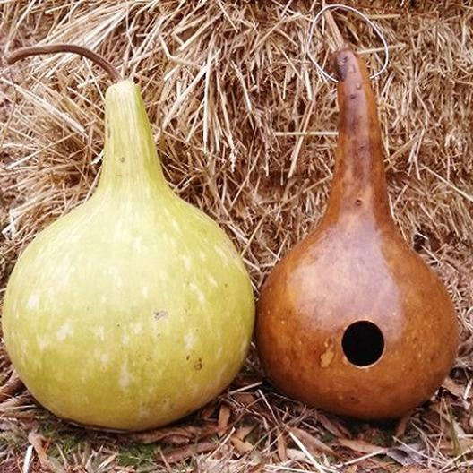 A green-tan birdhouse gourd to the left that's been freshly harvested and second tan-brown one to the right that has had a hole cut in it to make it into a birdhouse.