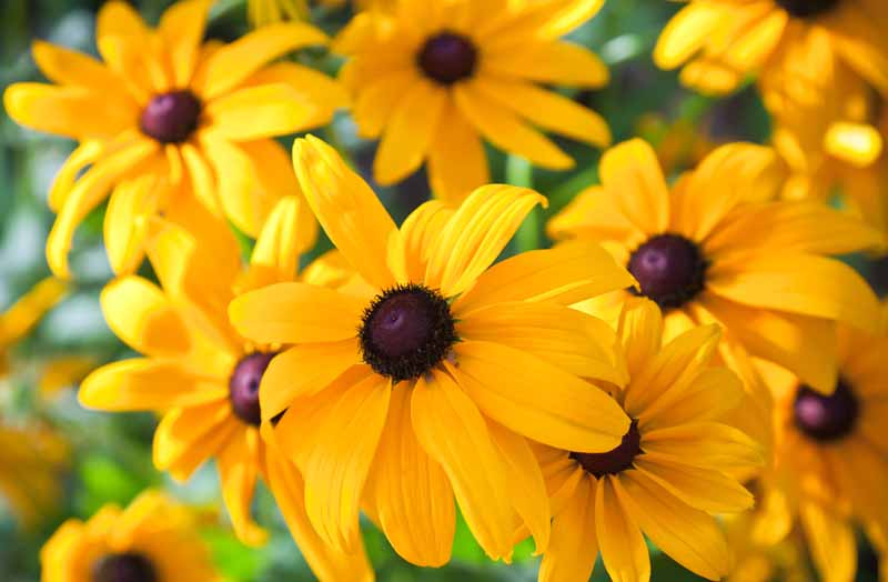 Black Eyed Susans (Rudbeckia fulgida) flowers. Close up.